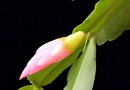 Varieties of Christmas Cactus