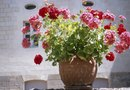 How to Keep Geraniums from Getting Scraggly