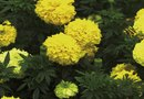 What Are the Characteristics of an African Marigold?