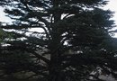 Which Plants Can Live Under a Cedar Tree?