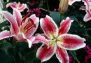 Oriental Lily Care and Propagation Instructions