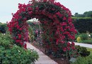 How Much Room Does a Climbing Rose Need on an Arbor?