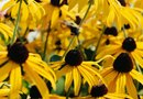 How to Transplant a Rudbeckia