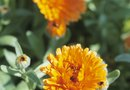 Do Marigolds Grow in Acidic Soil?