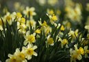 Companion Plants for Daffodils' Fading Foliage