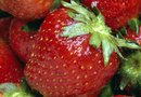 Step-by-Step on How Strawberries Are Grown