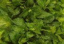 How to Germinate Peppermint