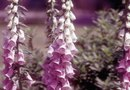How to Prune Foxgloves