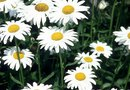 Herbicide for Wild Daisies