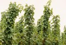 Troubles Growing Hops