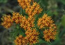 Can You Direct Sow Butterfly Weed in the Garden?
