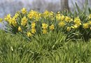How to Keep Narcissus Bulbs After Flowering