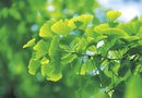 Ginkgo Tree Growth