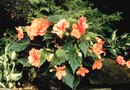 How to Store Potted Tuberous Begonias