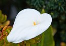 How to Plant a Purple Calla Lily Outside