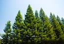 Tip Blight of Evergreen Trees