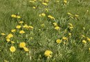 Does Roundup Pro Kill Dandelions?