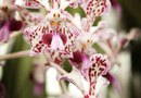Information on the Vanda Orchid