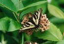 Are Swallowtail Butterflies Beneficial for the Garden?