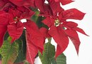 Round White Spots on a Poinsettia