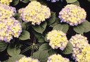 What Are the Causes of Round Holes in Hydrangea Branches?