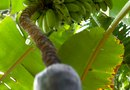 Insect Protection for Banana Trees
