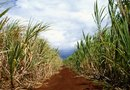 Is Sugarcane a Seed-Bearing Plant?