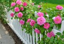 Is There Continuous Blooming With the Climbing Rose?