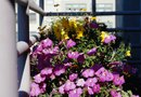 Differences Between Shock Wave & Easy Wave Petunias