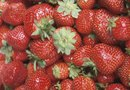 How to Grow Late Fall Strawberry Varieties