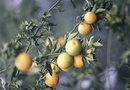 What Makes Oranges Grow Sour?
