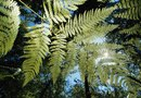 How to Care for a Kangaroo Fern