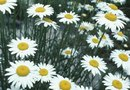 Information on Marguerite Daisy