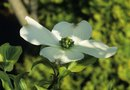 Fast Facts About Dogwood Flowers