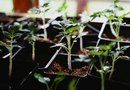 How to Protect a Tomato Garden From Unexpected Frost