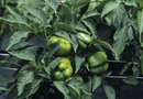 Spots on Bell Pepper Plants