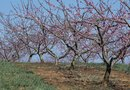 Can Sulfur Spray Be Used on Peach Trees?