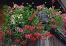 Geraniums in Hanging Baskets