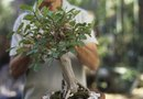 How to Grow a Ficus Bonsai