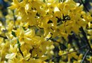 How to Grow Forsythia From Plant Cuttings