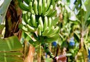 What Type of Plant Food Does a Dwarf Banana Tree Need?