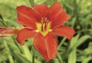 Daylilies and Aphids
