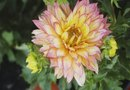 Information on Plant Growth for the Dahlia