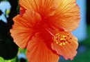 How to Plant Perennial Hibiscus Seeds