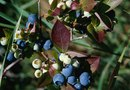 How to Prune Mahonia