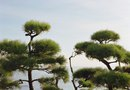How to Care for a Sculpted Scotch Pine