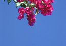 How to Determine What Kind of Crepe Myrtle You Have