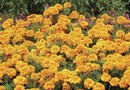 How to Plant Marigolds to Protect Tomatoes