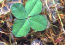 What Kind of Clover Is Best for Lawns?