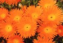 Orange Perennial Flowers